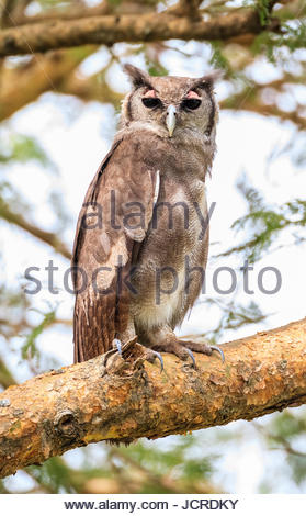 Verreaux's eagle-owl, Bubo lacteus, perching on the branch of a tree. - Stock Photo