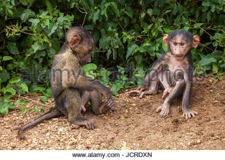 Two young olive baboons, Papio anubis, in Toro-Semliki Wildlife Reserve. - Stock Photo
