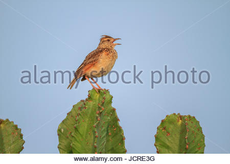 A rufous-naped lark, Mirafra africana, perching on a succulent plant. - Stock Photo