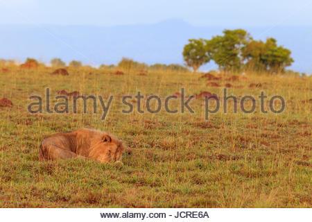 An African lion, Panthera leo, sleeping in Murchison Falls National Park. - Stock Photo
