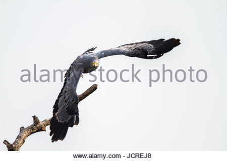 African harrier-hawk, Polyboroides typus, takes flight. - Stock Photo
