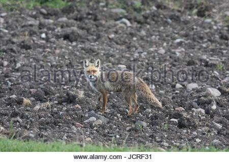 A red fox, Vulpes vulpes, in Kars, Turkey. - Stock Photo