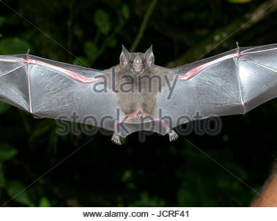 A flying tent-making bat, Uroderma bilobatum. - Stock Photo
