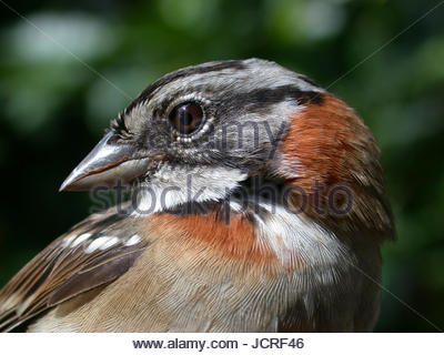 Close-up of a rufous-collared sparrow, Zonotrichia capensis. - Stock Photo