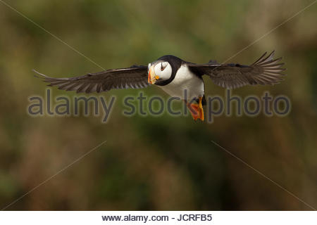 Puffin in flight above Lake Clark National Park. - Stock Photo