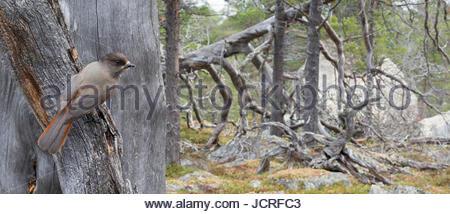 Siberian Jay, Perisoreus infaustus, in old Scots pine forest. Stora Sjöfallet National Park, World Heritage Laponia, - Stock Photo