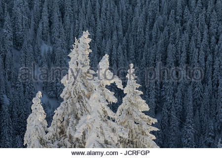 Snow-covered spruce, Picea abies, forest in the Ciucaş Mountains. Transylvania, Romania. - Stock Photo