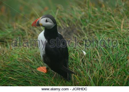 Puffin, Fratercular arctica, at Dyrholaey headland. - Stock Photo