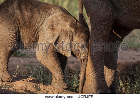 A young elephant calf, Loxodonta africana, resting on the leg of its mother. - Stock Photo