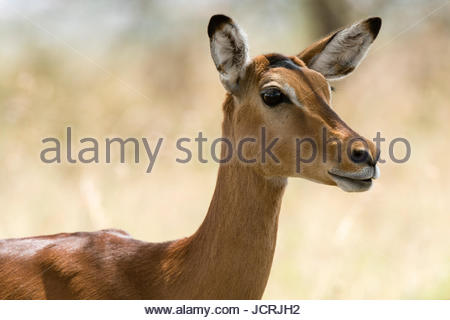 Impala (Aepyceros melampus), Lake Nakuru National Park, Kenya. - Stock Photo