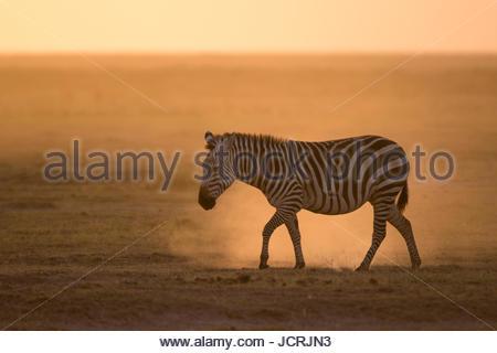 A common zebra, Equus quagga, walking at sunset. - Stock Photo