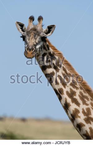A female Masai giraffe, Giraffa camelopardalis tippelskirchi, looking at the camera. - Stock Photo