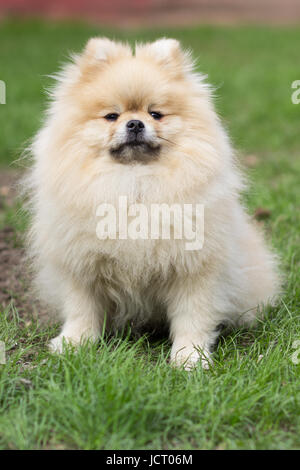 Pomeranian pomeranian beige sits contented on green grass - Stock Photo