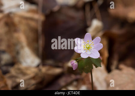 Rue Anemone (Thalictrum thalictroides) with morning dew. - Stock Photo