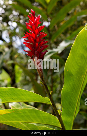 Flowering red ginger, alpinia purpurata, on Maui in Hawaii. Also serves as a main ingredient in many shampoos. - Stock Photo