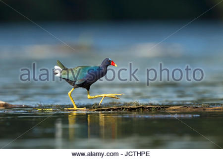 A purple gallinule, Porphyrio martinicus, in Manu National Park. - Stock Photo
