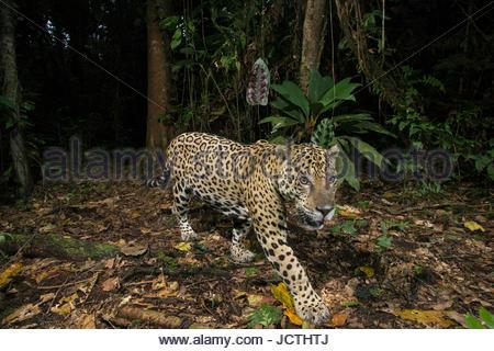 A remote camera captures an adult jaguar in Manu National Park. - Stock Photo