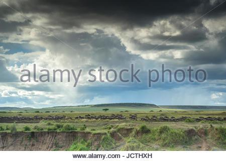 Migrating wildebeests in Kenya's Masai Mara National Reserve. - Stock Photo