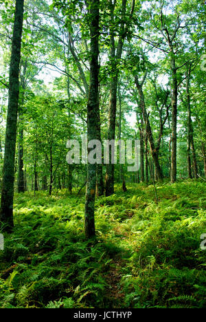 Hay scented Ferns cover the forest floor in the high elevation mountains of Virginia's Blue Ridge. - Stock Photo