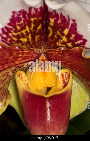 Paphiopedilum orchid, Cherry City Orchid Society Show, Salem, Oregon - Stock Photo