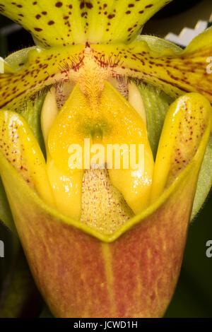 Paphiopedilum Castleberry Maxi orchid, Cherry City Orchid Society Show, Salem, Oregon - Stock Photo