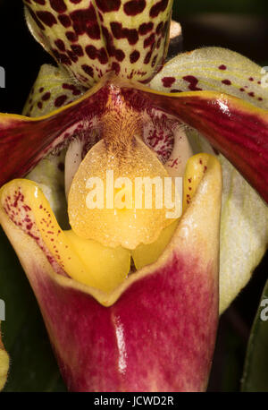 Cherry City Orchid Society Show, Salem, Oregon - Stock Photo