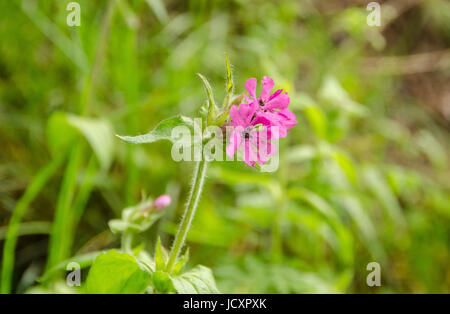 A single Red Campion (Silene Dioica) flower in a meadow - Stock Photo