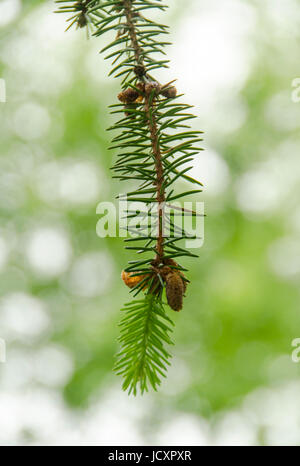 Norway spruce twig with flowers - Stock Photo