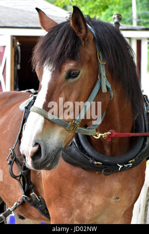 Horses at an equine draft horse rescue farm enjoy freedom and peace. - Stock Photo