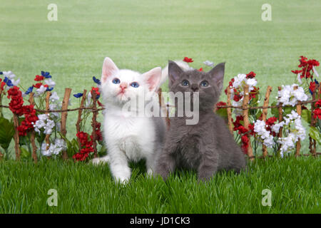 Two fluffy kittens, white and gray sitting in green grass back yard setting, stick fence with red, white, blue flowers - Stock Photo