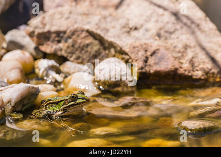 Horizontal photo of small green frog sits in shallow on few stones inside small garden lake / pond. Several big - Stock Photo