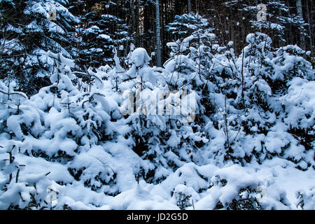 Undergrowth trees covered with snow in the winter in January - Stock Photo