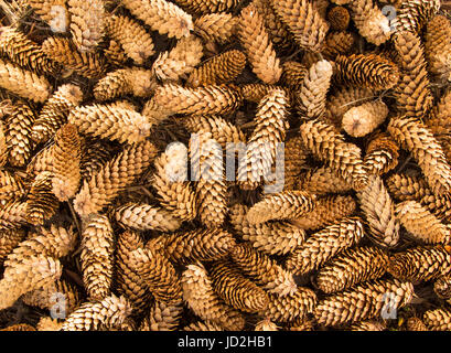 """Cones of the Sitka spruce are sometimes sold in the potpourri trade as """"white spruce cones."""" - Stock Photo"""