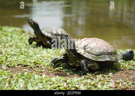 Two red eared sliders turtles resting on the grass near a lake looking at the side - Stock Photo