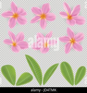 pink and yellow Plumeria Flower - Stock Photo