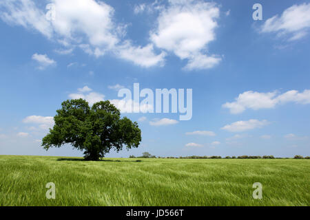 Pedunculate Oak Quercus robur standing alone in a field of Barley with a blue sky and cumulus clouds as a background - Stock Photo