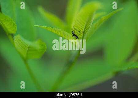 A large black ant walks on the underside of  a leaf somewhere in Lonar, Maharashtra, India - Stock Photo