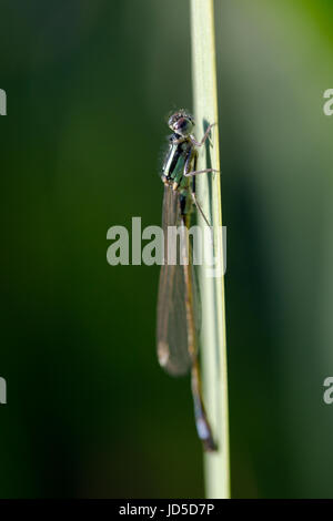 Blue-tailed Damselfly, Ischnura elegans, resting on grass blade at lake. Macro side portrait in morning dew light, - Stock Photo