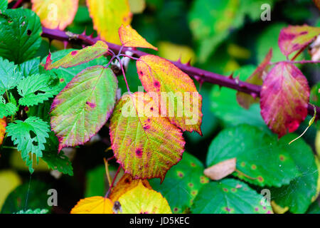 Floral colorful image of autumn blackberry leaves in yellow, red, orange,green, violet  on green natural background - Stock Photo