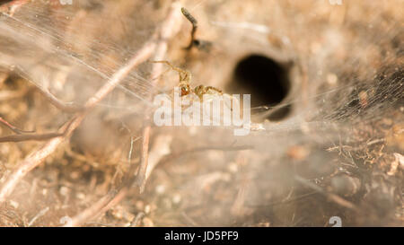 Labyrinth spider (Agelena labyrinthica). Female on large sheet web amongst heather from which this animal gets its - Stock Photo