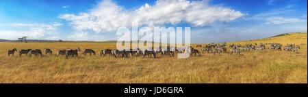 Zebras in a row walking in the savannah in Africa. National park Masai Mara in Kenya - Stock Photo