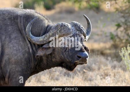 Wild African buffalo bull. Africa, Kenya - Stock Photo