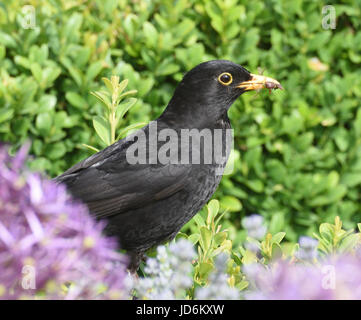 A male Blackbird (Turdus merula) gathers insects in a flower garden to feed its young. Arundel, Sussex, UK. - Stock Photo