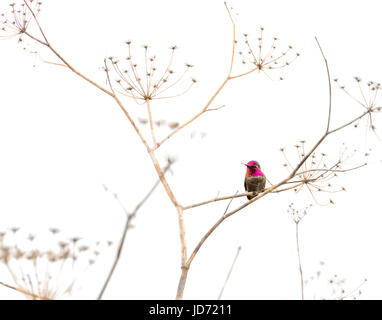 Hummingbird standing on a dry plant against white background. - Stock Photo