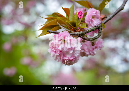 Isolated cherry blossoms hanging from a cherry tree in a park - Stock Photo