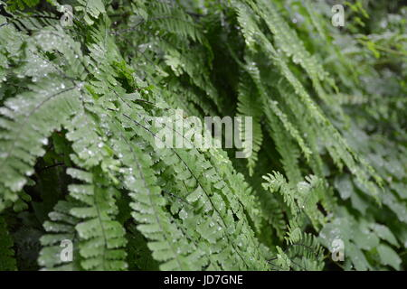 Dew Covered Fern - Stock Photo