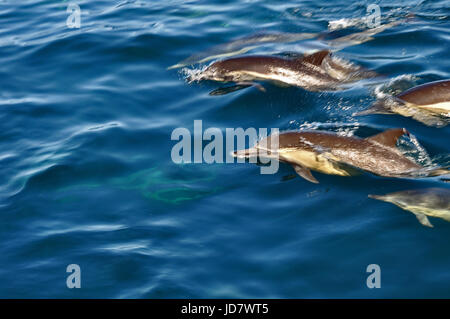 A pack of dolphins racing on the ocean surface - Stock Photo