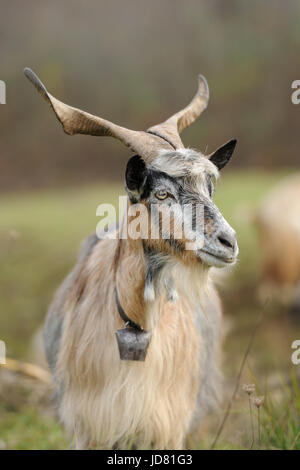 Goat in meadow. Goat herd - Stock Photo