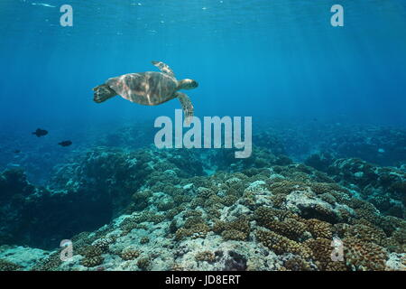 A green sea turtle underwater swims over a coral reef, Pacific ocean outer reef of Huahine island, French Polynesia - Stock Photo