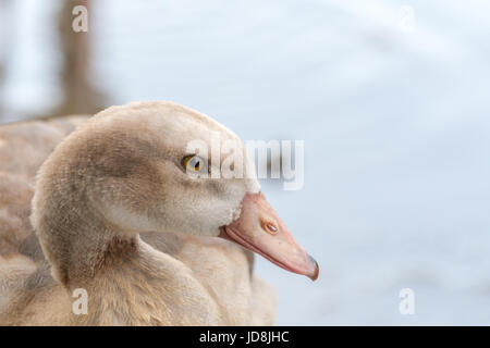 Egyptian Goose Gosling Epping Forest - Stock Photo